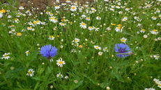 Wildflower meadows at SRUC, Elmwood Golf Course image #2