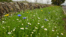Wildflower meadows at SRUC, Elmwood Golf Course image #3