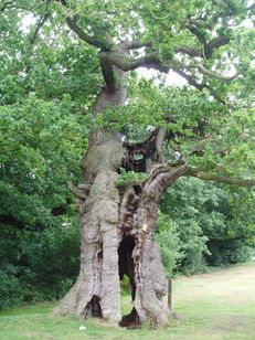 Veteran Trees image #1